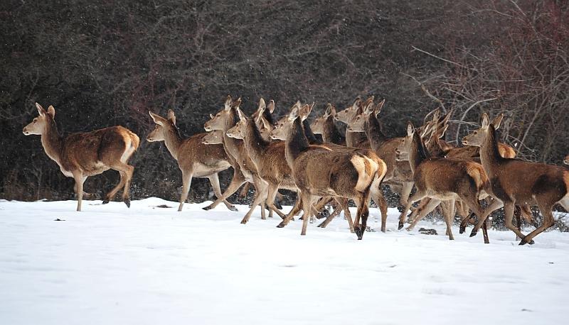 Il cervo in inverno